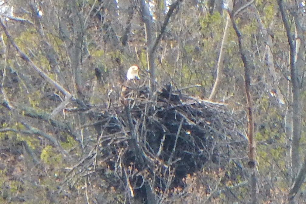 Walnut Bend Eagle on nest (3)