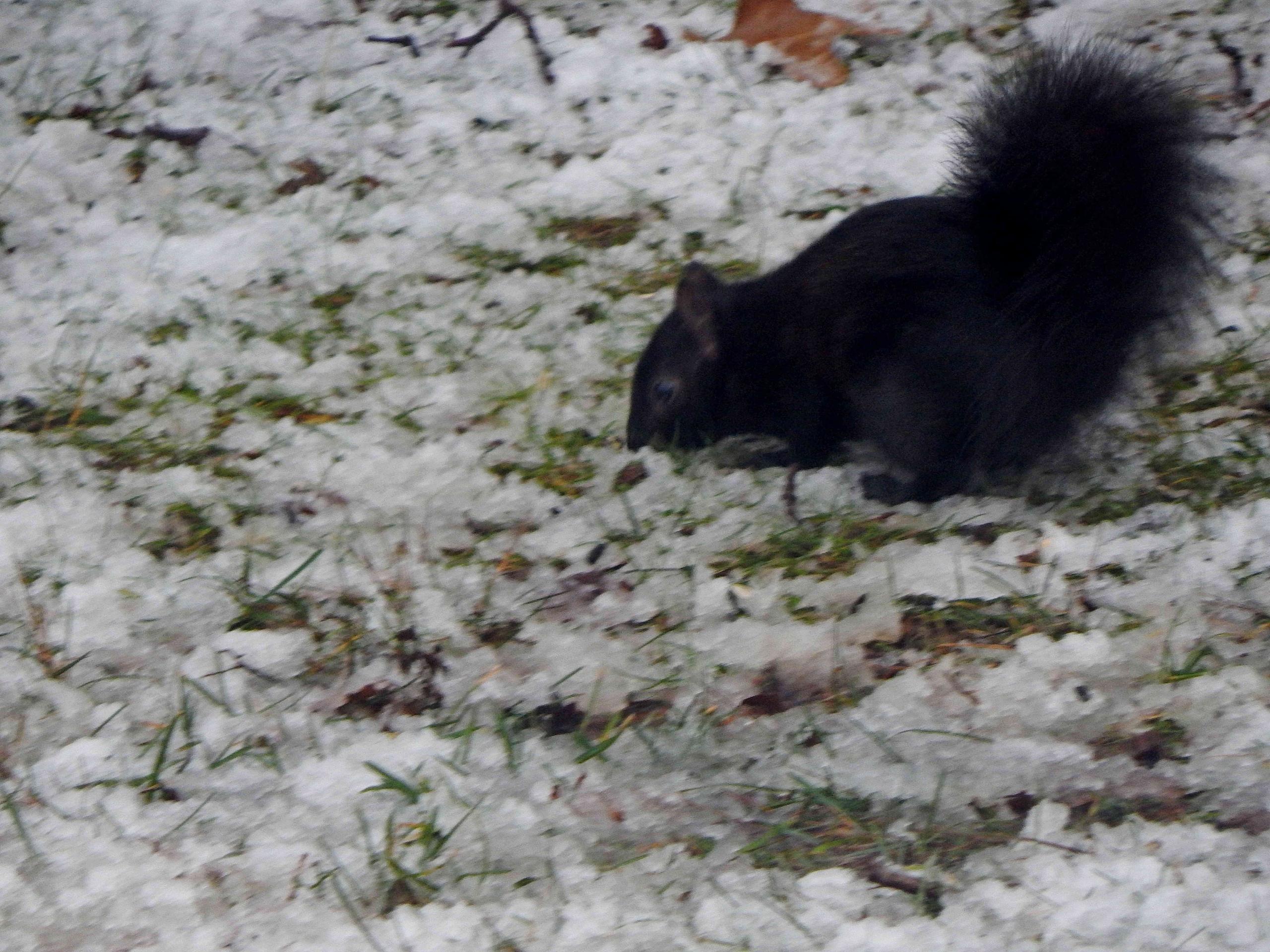 Black Squirrel in Ohio Norma 12-20-2020